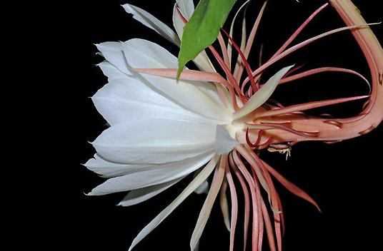 Cereus Night Blooming Flower